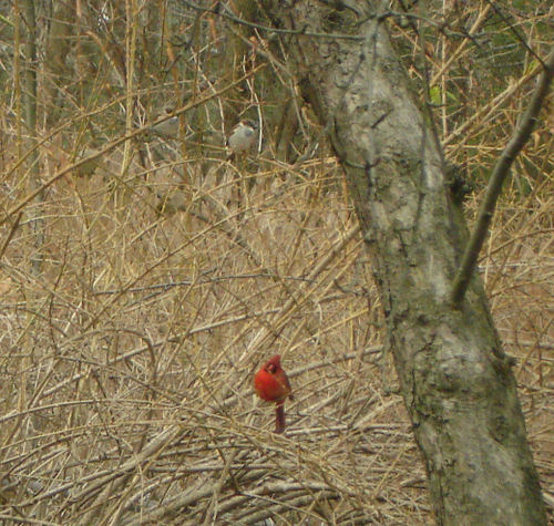 Cardinal_and_sparrows