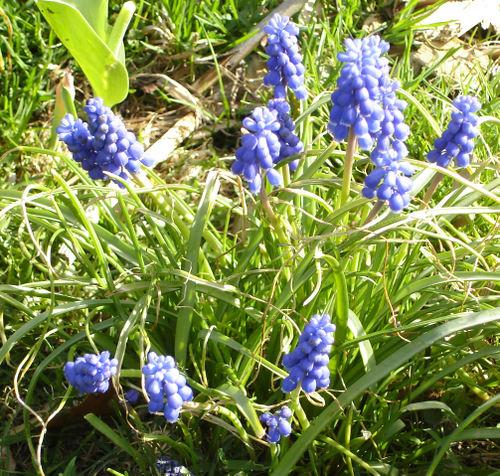Grape_hyacinth