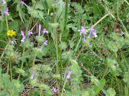Purple_wildflower