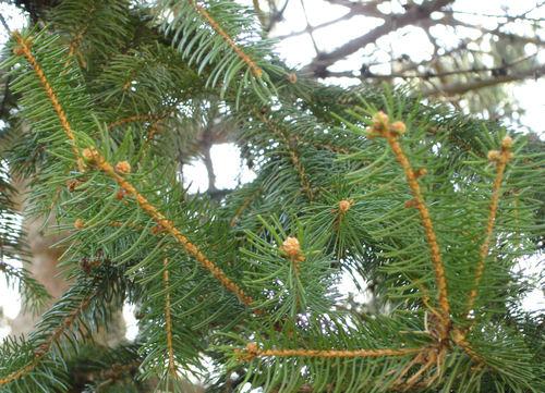 Spruce_buds_north