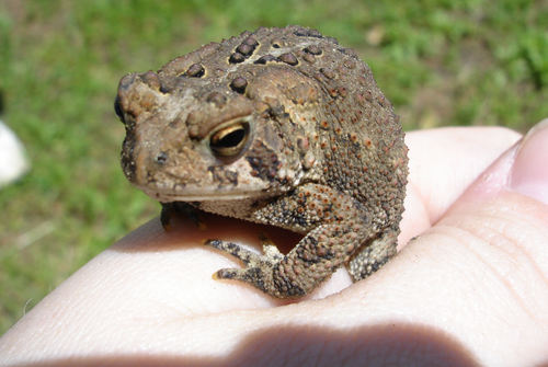 Toad_on_hand