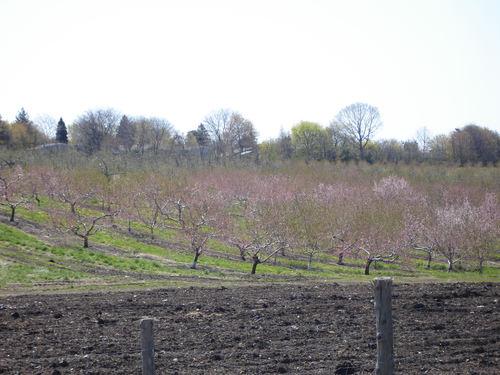 Blushing_orchard