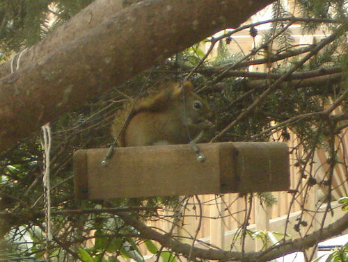 Red Face, the Red Squirrel