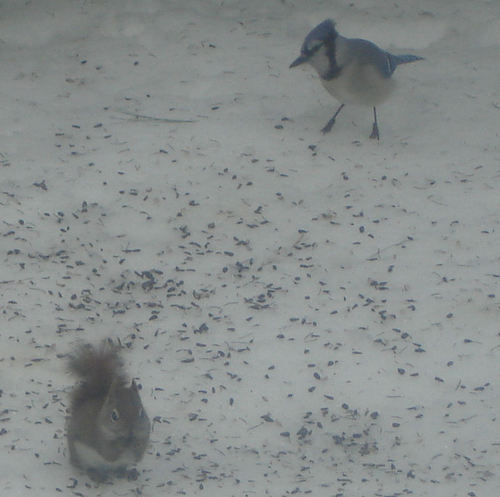 Red Squirrel and Blue Jay