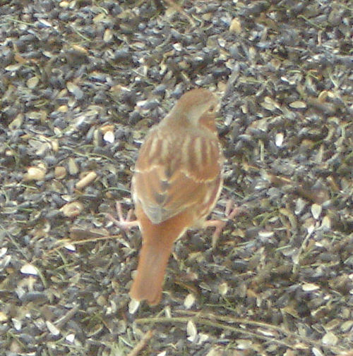 Rusty-colored sparrow