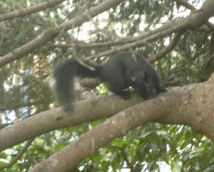 Black_squirrel_1