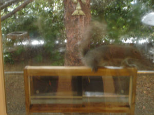 Squirrel_at_window_1
